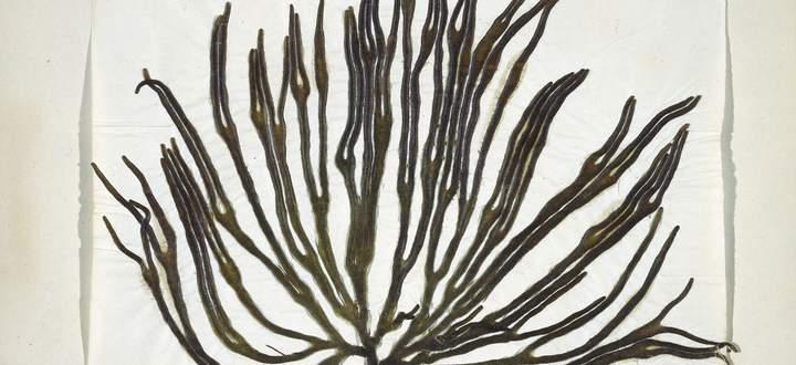 Algen in Herbarien sind nicht nur ein Augenschmaus, in ihnen steckt auch die Geschichte der Meere.