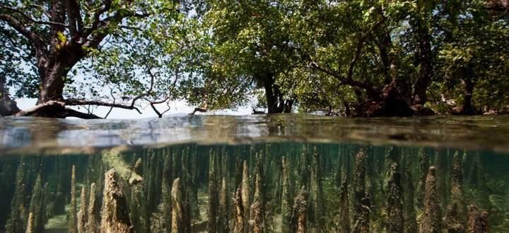 Mangrovenwälder sind ein natürlicher Hochwasserschutz. Werden sie zerstört, muss der Mensch teure Dämme errichten.