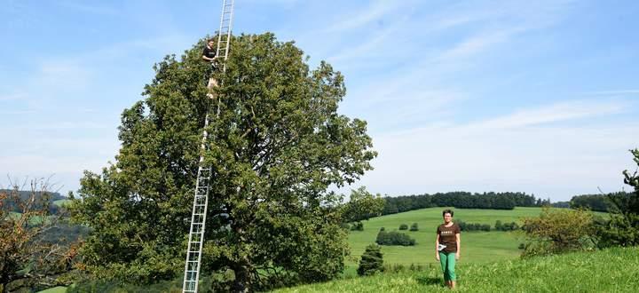 Wer Elsbeeren will, muss auf die Leiter, wie Jakob Mayer. Vorn: seine Mutter Veronika.