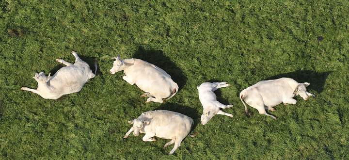 An einem Tag könnten diese fünf Kühe bei der Verdauung pflanzlicher Nahrung bis zu 1500 Liter Methan ausstoßen.