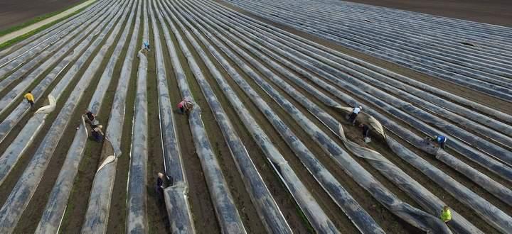 Die Landwirtschaftskammer schätzt, dass heuer rund 1500 ausländische Arbeitskräfte bei der Spargelernte fehlen werden.