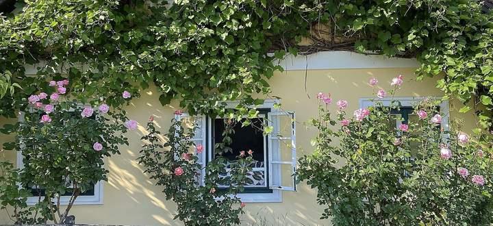 Wein und Rosen beim alten Bauernhaus.