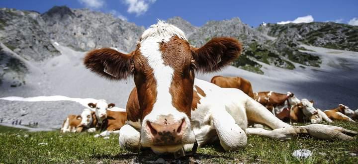 Archivbild: Kühe vor dem Hafelekar bei Innsbruck.