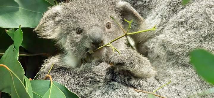 Schönnbrunner Koala-Jungtier lugt aus dem Beutel