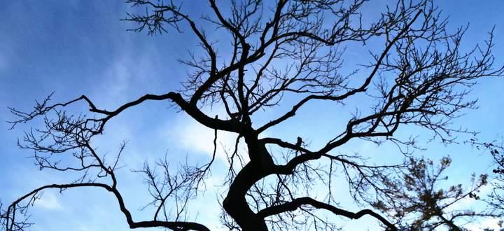 Von zahllosen Stürmen geschüttelt, doch stets ungerührt – dem Augenschein nach: Prunus armeniaca, 1928 (?) bis 2021.