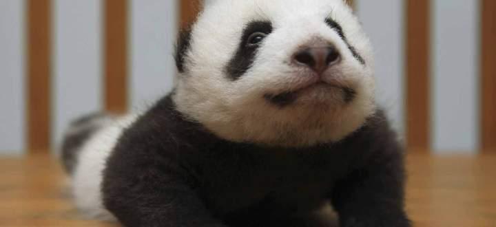 In den Provinzen Gansu, Shaanxi und vor allem Sichuan leben knapp 1900 Tiere, 17 Prozent mehr als noch vor zehn Jahren.