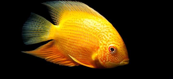 Buntbarsche bilden 1700 Arten. Sie leben vor allem in Afrikas Seen und sind beliebte Aquariumfische.