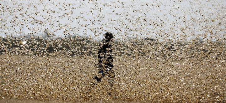 Heuschreckenplagen sind in Ostafrika keine Seltenheit. Zunehmende Wetterextreme begünstigen aber Katastrophenjahre. Hier ein bild aus Nanyuki in Kenia im Februar 2020.