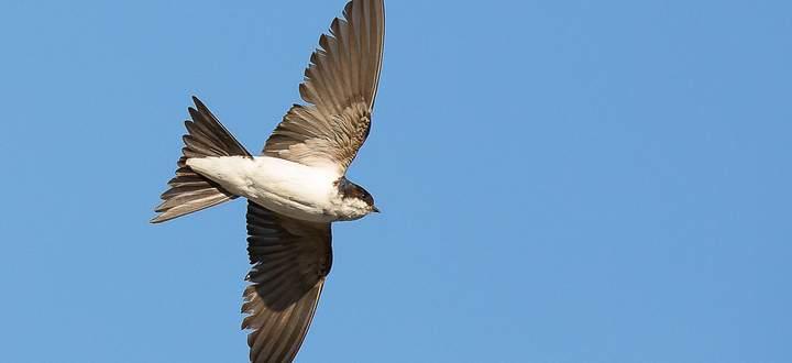 Einst selbstverständlich, heute selten: die Mehlschwalbe.