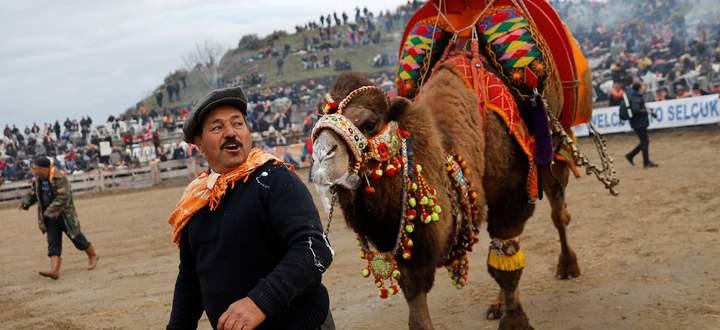 Aufgeladene, ausgelassene Stimmung im türkischen Selçuk: Beim Kamelkampf treten immer zwei Kamele gegeneinander an. Nach der traditionellen Rangelei wird gefeiert.
