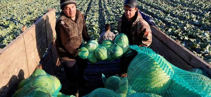 Russland auf dem Weg zum Selbstversorger. Kirgisische Gastarbeiter ernten Krautköpfe nahe der sibirischen Stadt Krasnojarsk.
