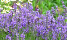 Lavendel, der duftige, herrliche Halbstrauch.