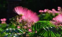 Die flauschigen Blüten des Seidenbaumes.