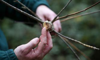 Diese Esche in England ist einem Pilz zum Opfer gefallen, andere in den USA werden von Insekten dezimiert.