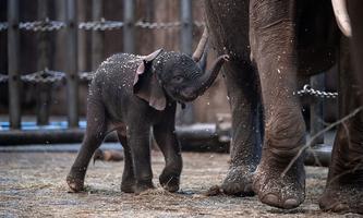 Zoo stellt den am Freitag geborenen Elefanten 'Tsavo' vor