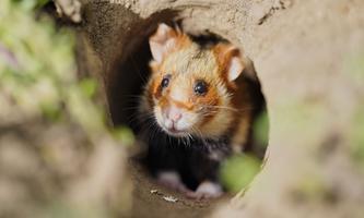 Wenn der Hamster mit höherer Wahrscheinlichkeit in den Bau zurückkehrt, ist er zu schützen.