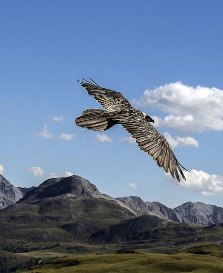 Bartgeier im Schweizerischen Nationalpark.