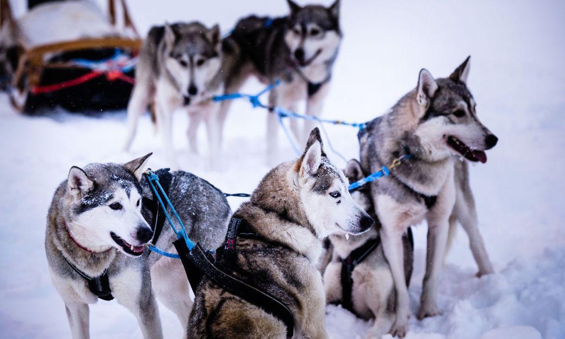 Schlittenhunde und Rentiere drehen mit Touristen Runden durch den Wald