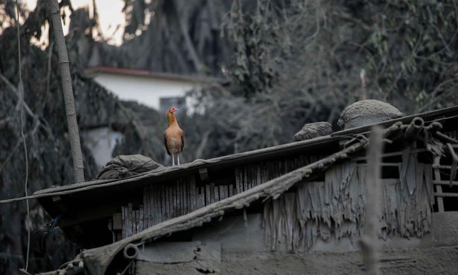 Ein Vogel sitzt auf einem von Asche bedeckten Hausdach, nachdem der Vulkan Taal auf den Philippinen Lava gespuckt hat.