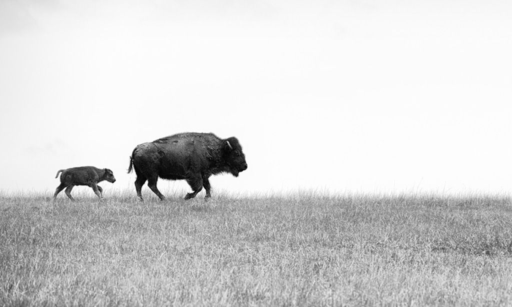 Female bison with young