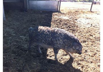 Mangalitza Woll Schwein