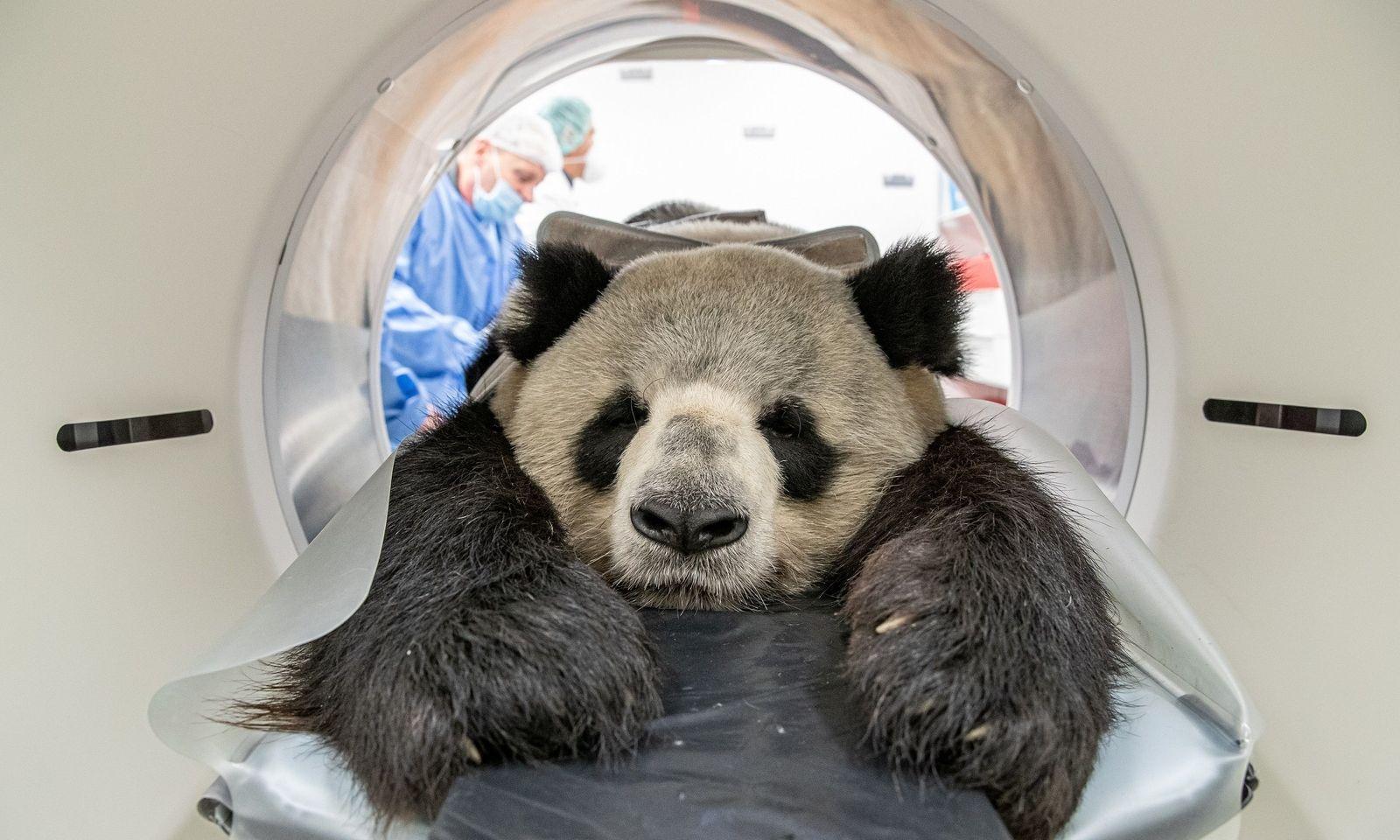 Ab in die Röhre: Der Panda Jiao Qing aus dem Zoo Berlin wird im Leibniz-Institut für Zoo- und Wildtierforschung (IZW) im Computertomographen untersucht. Hierbei solle unter anderem der Zustand der beiden unterschiedlich großen Nieren genauer begutachtet werden.