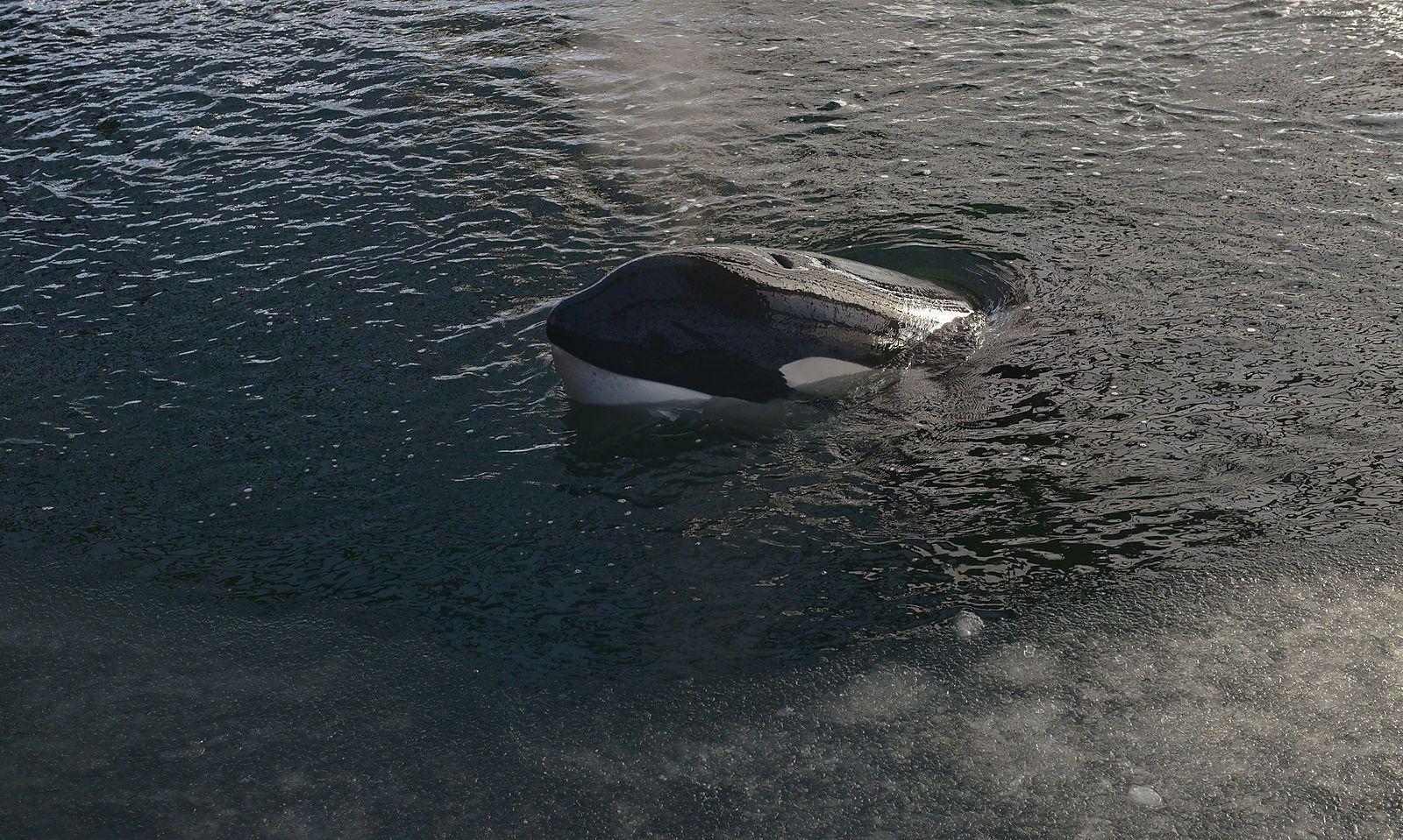 Einer der gefangenen Orcas.