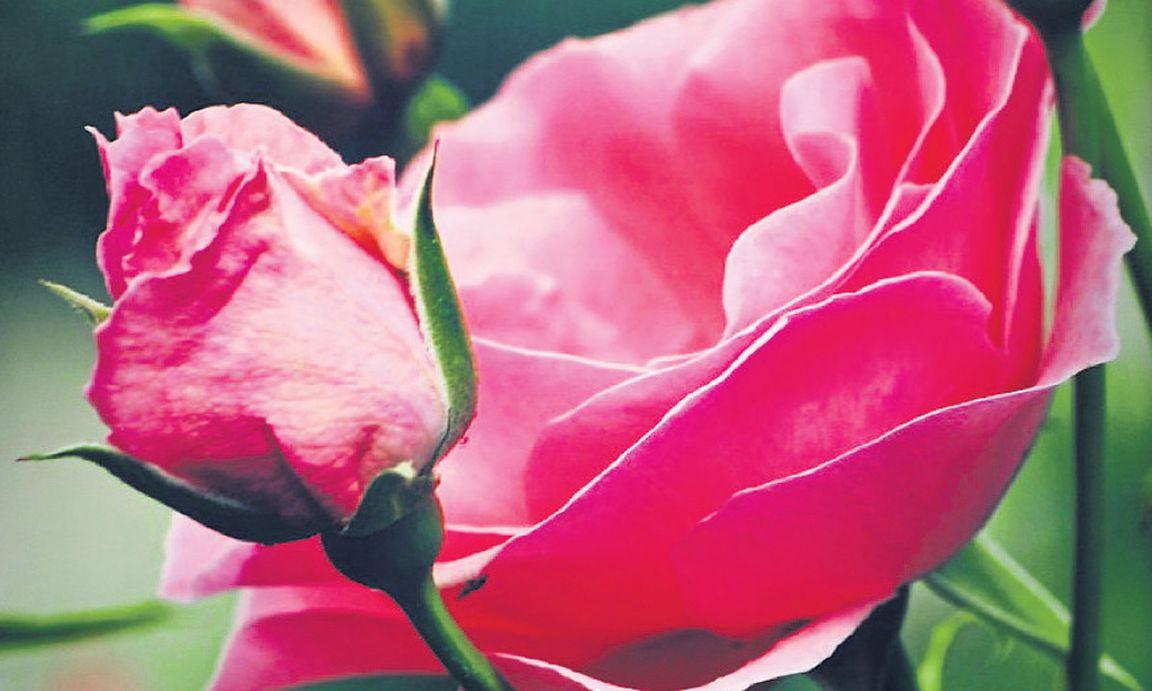 rosenschneiden: lob der faulheit « diepresse