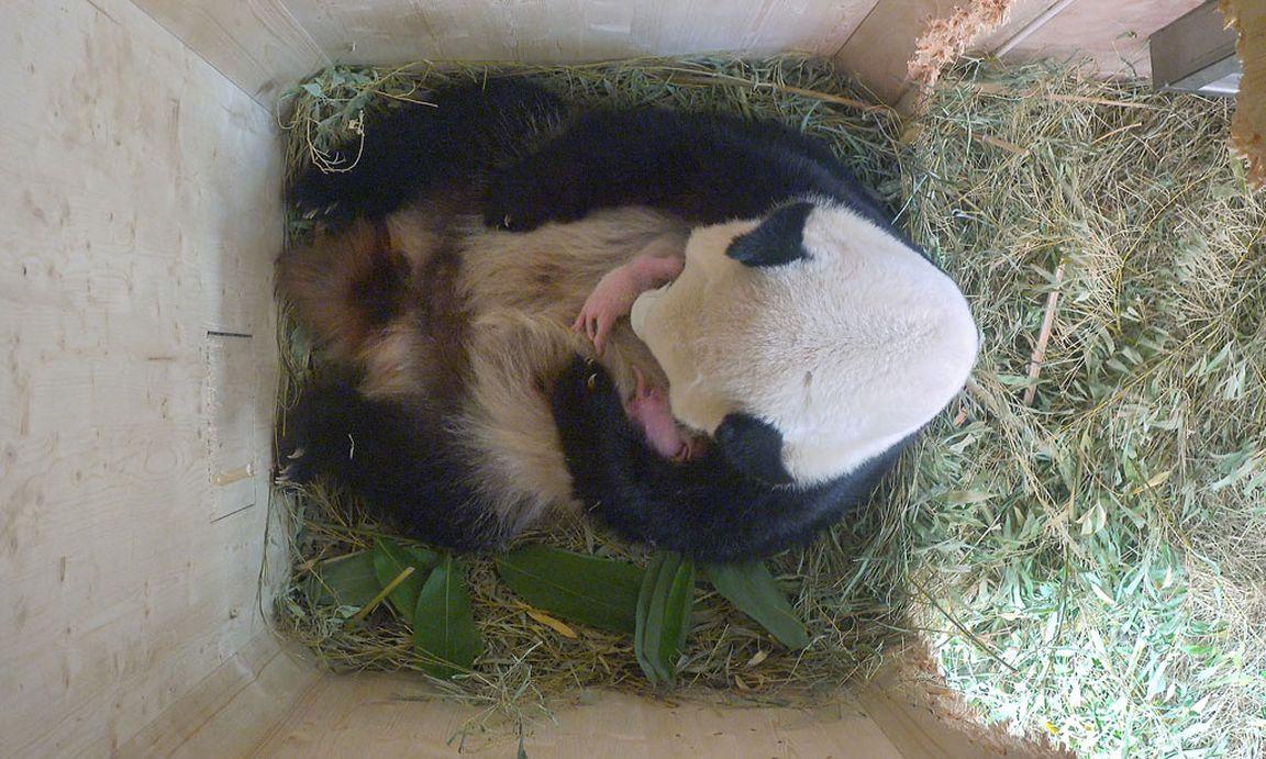 es sind pandazwillinge 171 diepressecom