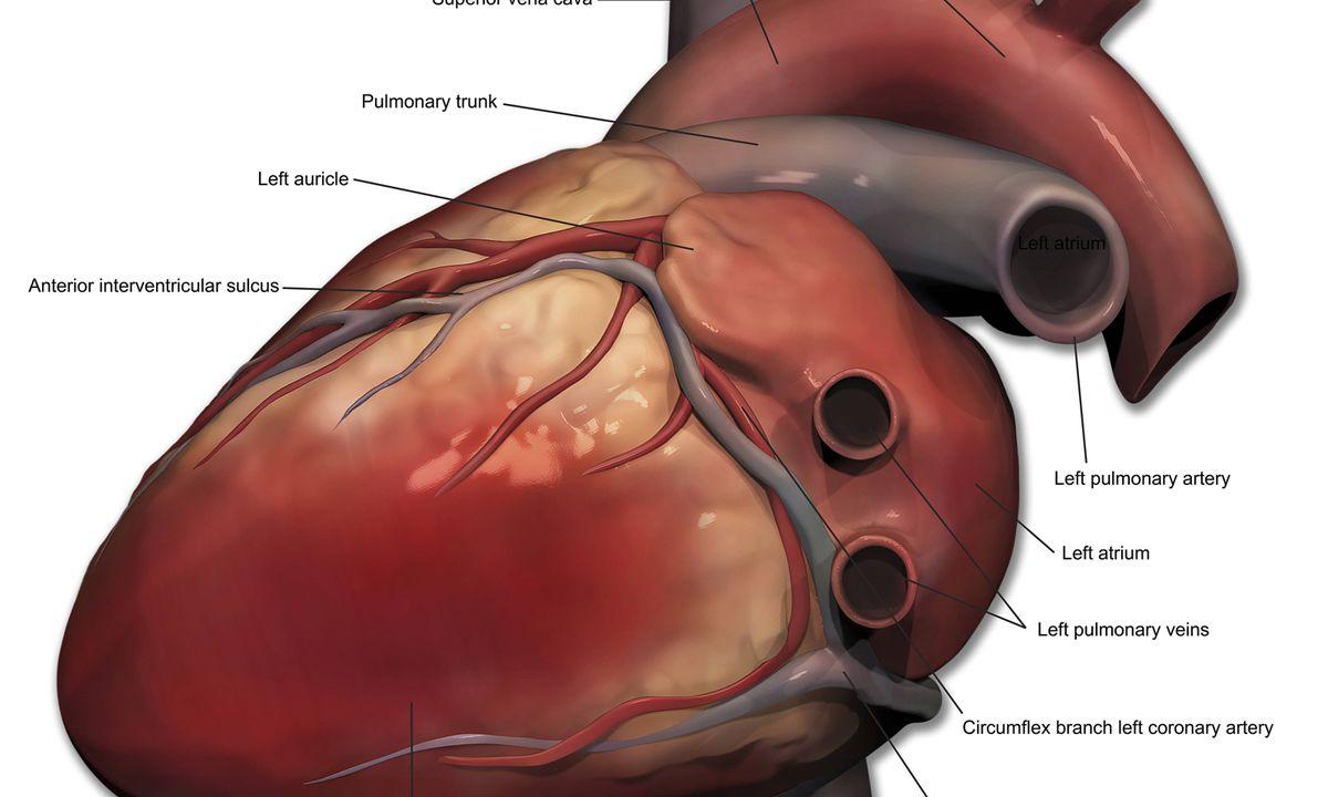 Frischzellenkur Fr Die Herzmuskeln Diepresse