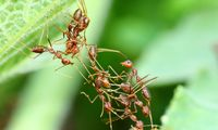 Ameisen haben flache Hierarchien, wissen aber intuitiv, wie sie gemeinsam in einer sehr großen Gruppe funktionieren.