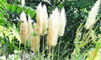 Das Pampasgras verträgt lediglich eines nicht: den sauberkeitsfanatischen Gärtner, der es noch vor dem Winter zurückschneidet.