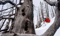 Treeskiing. Albertas Kiefernwälder sind Spielplatz der Powder-Süchtigen.
