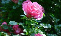 Pflanzt Rosen, es zahlt sich in jedem Fall aus.
