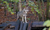 Schön wär's – aber ein Wolf lässt sich in der freien Wildbahn nicht blicken.