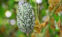 Manche Gurken sind rundlich, andere – wie diese – haben stachelartige Auswüchse.