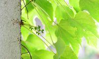 Die Mauerkatze dient auch als Jausenstation für Insekten und Vögel.