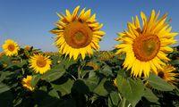 Sonnenblumen drehen sich mit der Sonne, weil sie so ein Maximum an Licht einfangen.