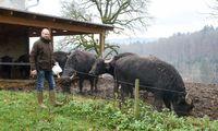 Helmut Mahorko baut entlang der südsteirischen Weinstraße nicht nur Wein an, sondern hält auch eine kleine Herde mit Wasserbüffeln.