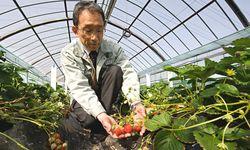 Ausgewachsen: Die perfekte japanische Erdbeere ist ein gefragtes, teures Gut und geht auch in den Export nach Hongkong, Taiwan und Singapur. / Bild: (c) EPA/Everett Kennedy Brown