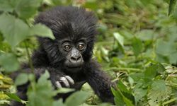 Eine Tour zu den Berggorillas kostet in Ruanda seit Mai stolze 1500 USD. / Bild: Imago