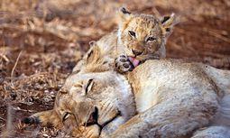 Konsequenz. Im Gefolge der Großen Gnuwanderung kommen auch Jäger: Löwen.  / Bild: (c) Singita Lodges