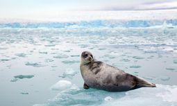 Gerettet. Robben stehen auf dem Speiseplan der  Eisbären. Manche entkommt.  / Bild: (c) imago stock&people