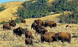Bestand. An der Fastausrottung der Bisons hatte Buffalo Bill fast keinen Anteil. / Bild: (c) imago/blickwinkel