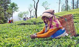 Pflücken. Arbeiten im Teegarten: Frauen arbeiten, Männer beaufsichtigen.  / Bild: (c) Anna Burghardt