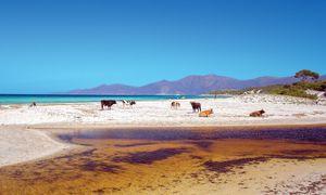 Tierische Begegnung. In der Désert des Agriates trifft man Kühe am Strand.