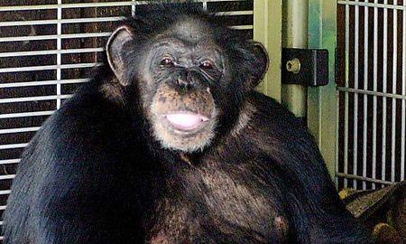 Schimpanse Travis