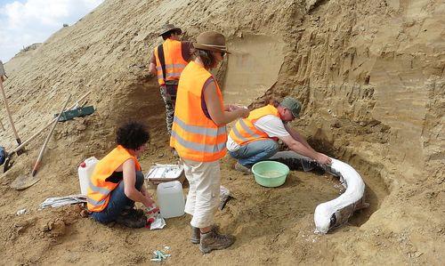 Das Paläontologen-Team des Naturhistorischen Museums Wien bei der Bergung eines der Stoßzähne. Der Fund wurde mit Gips ummantelt.