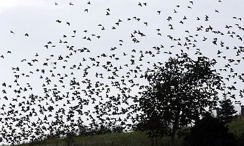 1000 Vögel in den USA tot vom Himmel gefallen « DiePresse.com