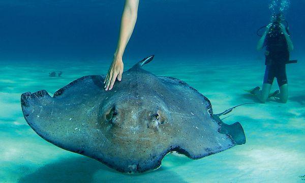 (c) Cayman Islands Department of Tourism/Lawson Wood Smart. Auf der Sandbank sind die Rochen Menschen gewöhnt.